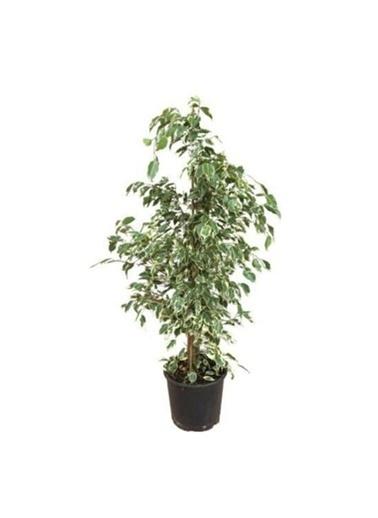 Çiçek Antalya Çiçek Antalya Ficus Benjamin Starlight Yeşil